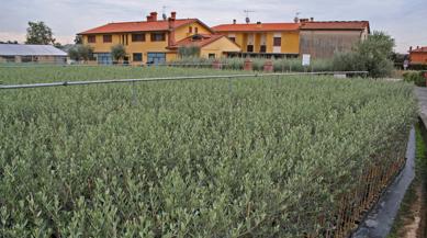 La nostra azienda produce olivi da tre generazioni piante - Siepe di ulivo ...