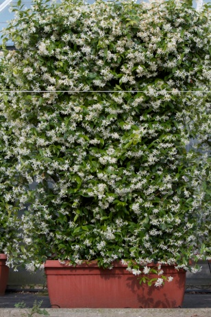 Trachelospermum jamisnoides ryncospermum for Gelsomino rampicante