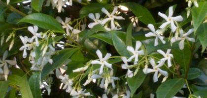Piccoli Fiori Bianchi Profumatissimi.Piante Rampicanti Fiorite Trachelospermum Jamisnoides