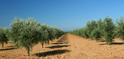 quando si piantano gli ulivi
