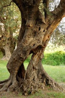 vivai olivi giampiero del ministro produzione e vendita